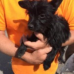 Found - little black dog
