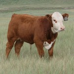 Coon Herefords