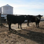 Yearling and 2yr old Registered Angus Bulls