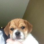 Puggle Puppy-Now Ready for New home