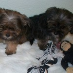 Shorkie puppies