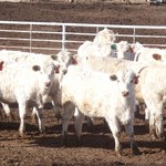 Charolais Open Heifers and Yearling Bulls