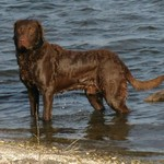 AKC Chesapeake Bay Retriever