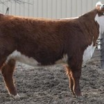 Hereford Show/Replacement Heifer