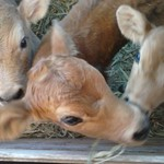 3 Jersey,Holstein mix calves