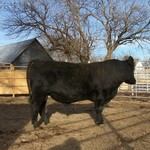 22 Month Old Purebred Angus Bull