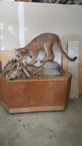Life-size mountain lion for sale