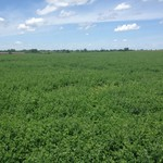 round bale of alfalfa for sale