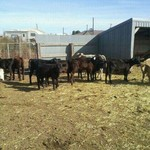 ROPING CALVES FOR SALE