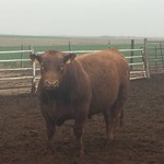3 Purebred Red Angus 2yr Old Bulls