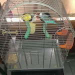 Parakeets with cage