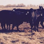 16 nice black and baldy cows