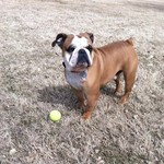 English Bulldog Available for Stud