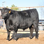 Connealy Caliber 3734 semen for sale