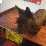 Scottish terrier $300