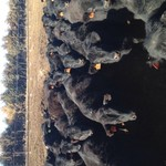 Angus Replacement Heifers For Sale: