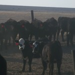 22 Bred Heifers: PRICE REDUCED!!!