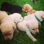 Registered Labrador Retriever Puppies!