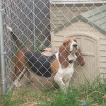 Looking for a family that Loves Bassetts! There are pics!!