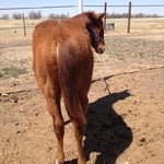 Watch San Baron 2013 sorrel colt