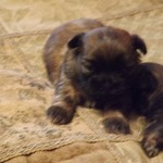 ADORABLE SHIH-TZU PUPS $350. - $550.