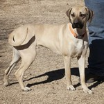 1 year old female black mouth cur