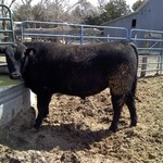Yearling Reg. Black Angus Bulls