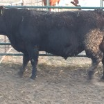 Reg. Black Angus Yearling Bulls For Sale