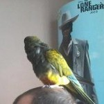 Price Lowered Patagonian Conure