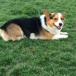 Male Welsh Corgi