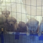 AKC Registered Golden Retrievers