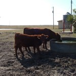Replacement Quality - Red Angus Open Heifers