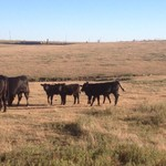 12 Young black cow calf pairs