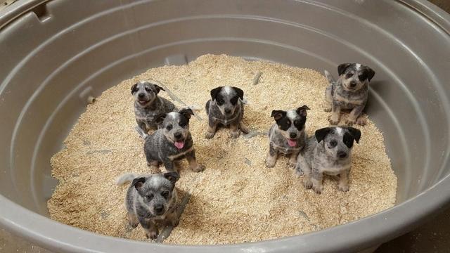 Blue Heeler Puppies Nex Tech Classifieds