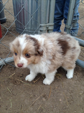 Average Price For Australian Shepherd Puppy
