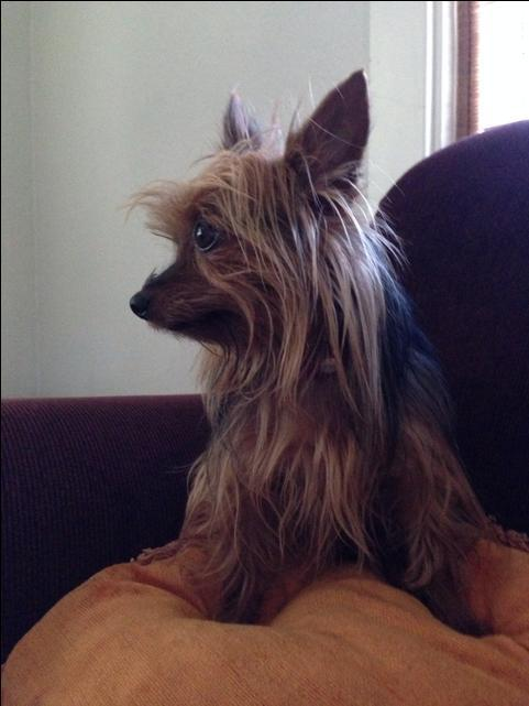 Beautiful Akc Adult Female Yorkie For Sale Nex Tech Classifieds