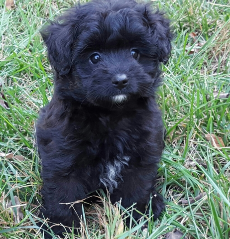 non shedding hypoallergenic puppies nex tech classifieds we buy old houses