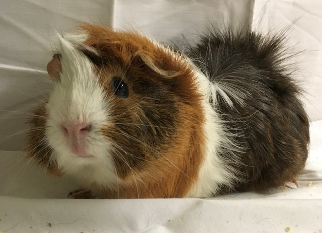 Peruvian/Abyssinian Guinea Pig Babies Healthy & socialized ... - photo#41
